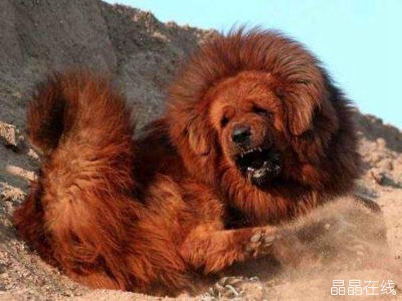 藏獒是世界上最大的犬种之一