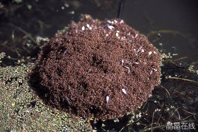 要想获得成功,团结协作的力量是不可或缺的。这种团队协作获得成功的精神其实在一种微小的生物蚂蚁身上得到了淋漓尽致的体现。  蚂蚁们正在团队协作捕食 曾经,有一位老者讲了这样一个故事:1998年发洪水,河流里远远飘来一个黑球,开始还以为是人,等到近一点才发现是一个蚁球。成千上万只蚂蚁为了逃命,它们就紧紧的团成一个球,抱成团,或许会遇到一个大的漂流物,它们就抱住这个大的漂流物,然后就随波逐流,等到靠岸时,虽然外层的蚂蚁会被波浪打到水里牺牲掉,但是大部分的蚂蚁还是会幸存下来。幸存的蚁球一层层散开,蚂蚁们就如从战