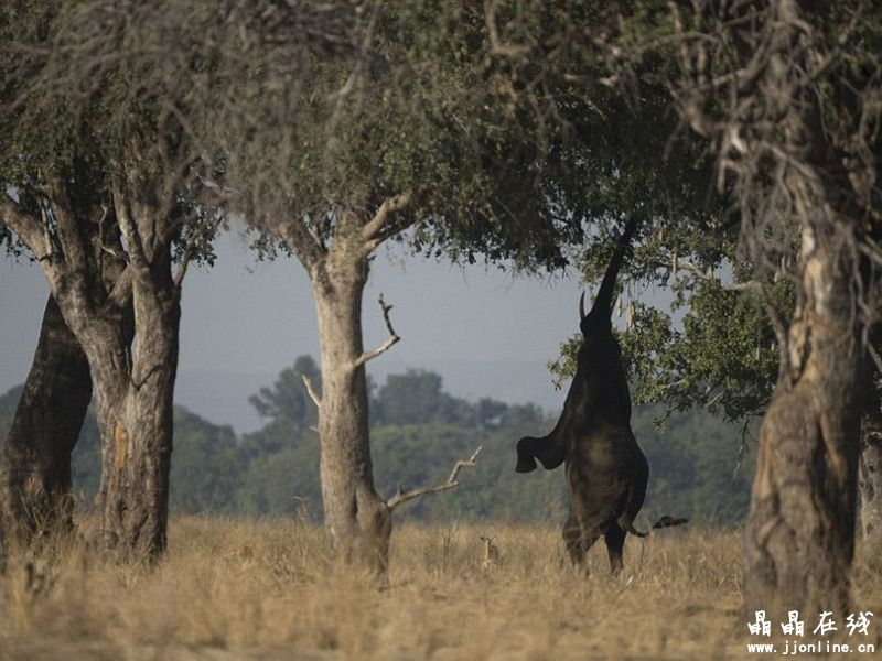 英国野生动物摄影师梅西在赞比亚南卢安瓜国家公园停留3个月,拍摄惊人的豹子和巨大大象以及世界最稀有动物之一的有鳞穿山甲  通过近距离观察这只母豹和它的3个幼崽,摄影师梅西捕捉到照片显示的亲密瞬间  豹幼崽,是不是很可爱  穿山甲是发现于非洲和亚洲的罕见的有鳞哺乳动物。它的名字来自马来语,意思是卷起来的动物