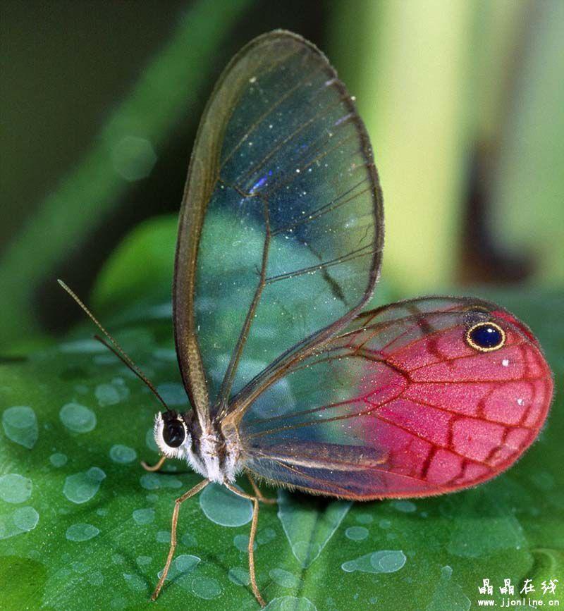 九种身体透明的动物:借助隐形能力躲避天敌