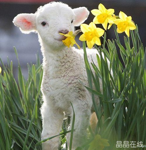 越来越多的韩国人喜欢与小绵羊
