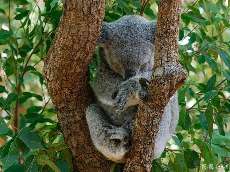 每天睡眠20个小时。棕蝠清醒的时间只有4个小时,一生之中大约有83%的时间在睡眠中度过。这种动物睡觉时呈大头朝下的姿势,只在夜间活动。由于缺少食物,它们会冬眠半年时间。除了棕蝠外,树懒每天的睡眠时间同样达到20个小时左右。