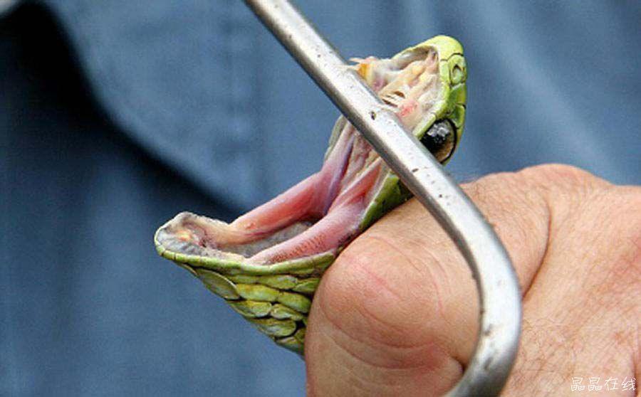 非洲树蛇:非洲树蛇主要生存于南非地区,它是世界上最致命的蛇类之一。它们的视力超过大多数蛇类。它的毒液含有一种血毒素,能在几小时内杀死猎物。  鸡心螺:鸡心螺出现在这里是非常出人意料的。致命的鸡心螺所含有一种名为芋螺毒素的神经毒素会让你出现暂时性麻痹和严重的呼吸问题。  河马:虽然河马通常都是平静的,但是这些4吨重的动物具有非常强的领土意识。它们每年平均杀死的人类数量超过非洲全部动物的总数。  长吻海蛇:长吻海蛇是世界上最漂亮的蛇类之一,但是它和许多毒蛇一样致命。它们通常不攻击人类,除非你靠的太近。它的毒